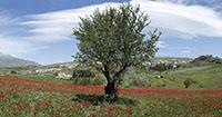 Tulipani Blufi